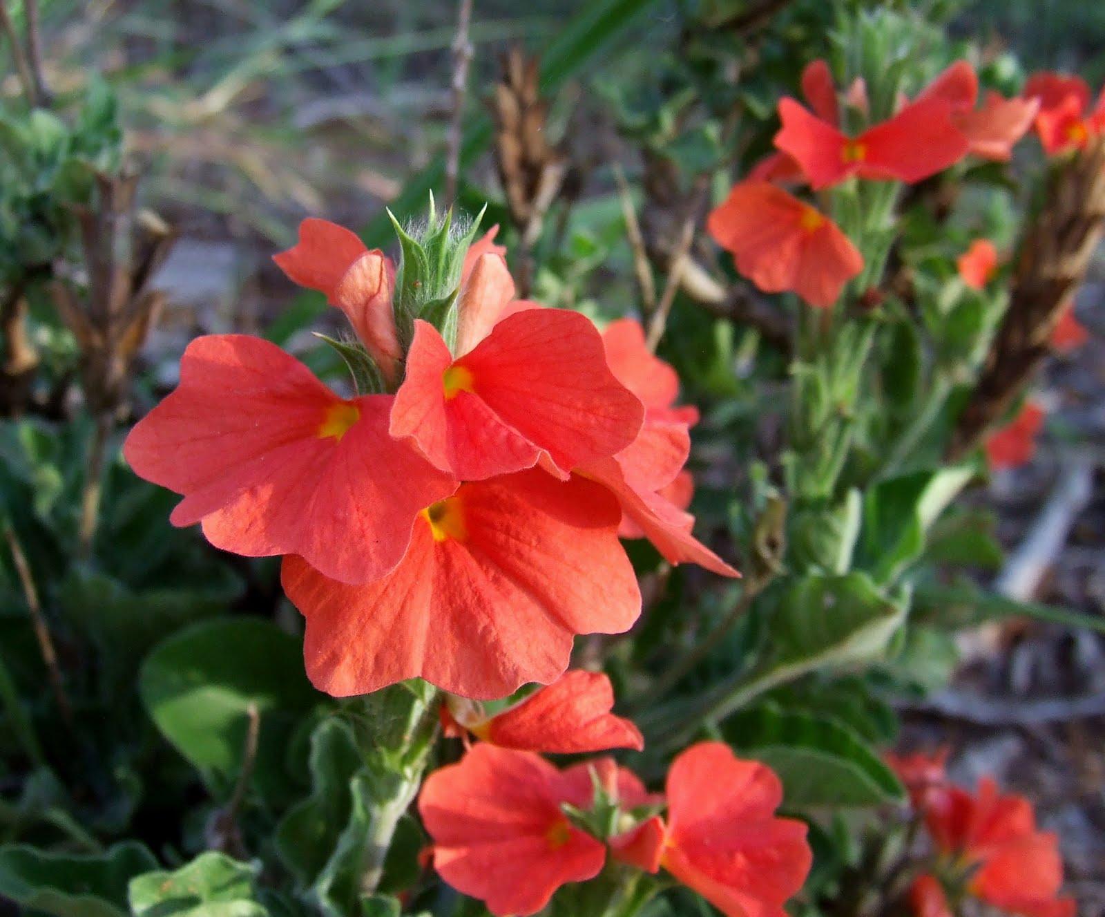 Flower for the Ladies Crossandra greenstockii